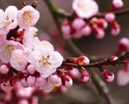 Закарпатське турне: квітуча сакура