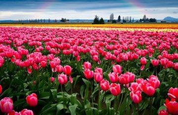 Чернівці+долина тюльпанів